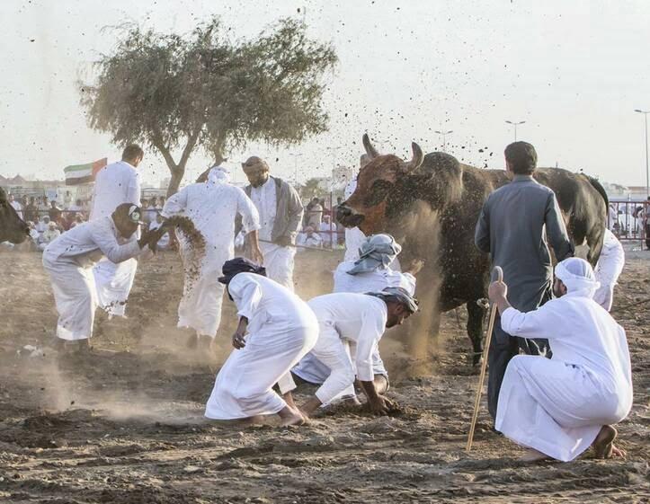 گاو بازی امارات 14 - تصاویر/ تفریح عجیب مردم امارات