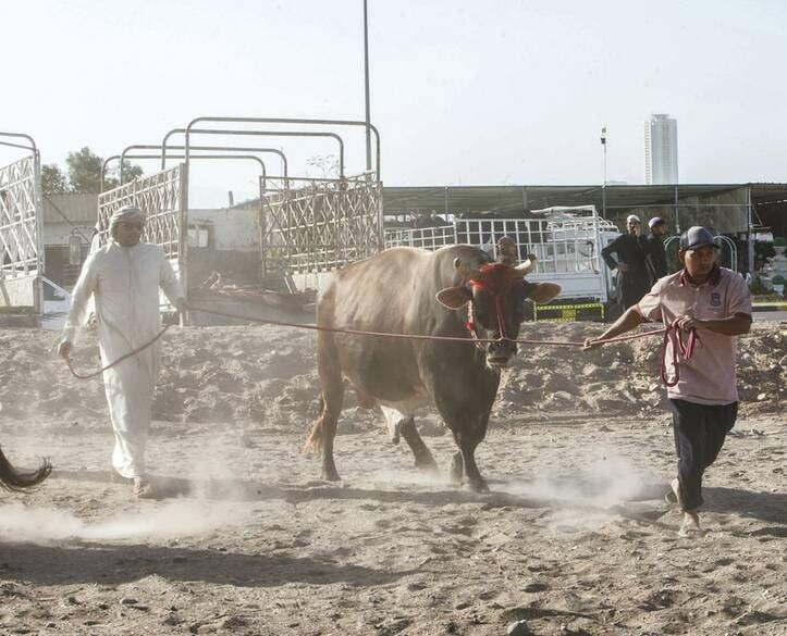 گاو بازی امارات 7 - تصاویر/ تفریح عجیب مردم امارات