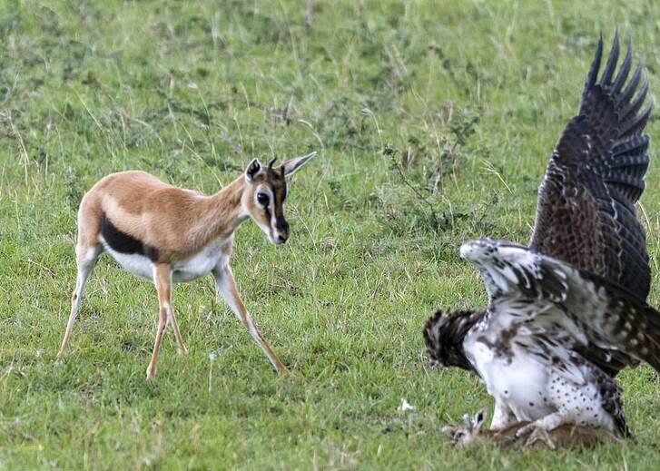 عقاب غول پیکر 1 - تصاویر/ تلاش یک مادر برای نجات فرزند اش از چنگال عقاب غول پیکر
