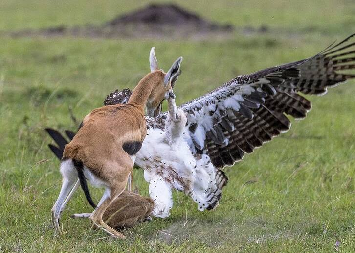 عقاب غول پیکر 2 - تصاویر/ تلاش یک مادر برای نجات فرزند اش از چنگال عقاب غول پیکر