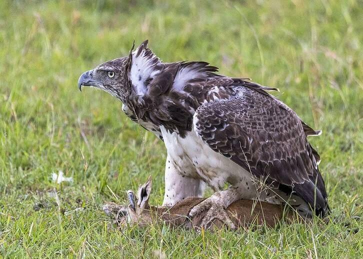 عقاب غول پیکر 3 - تصاویر/ تلاش یک مادر برای نجات فرزند اش از چنگال عقاب غول پیکر