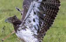 عقاب غول پیکر 4 226x145 - تصاویر/ تلاش یک مادر برای نجات فرزند اش از چنگال عقاب غول پیکر