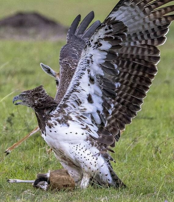 عقاب غول پیکر 4 - تصاویر/ تلاش یک مادر برای نجات فرزند اش از چنگال عقاب غول پیکر
