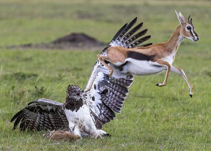 عقاب غول پیکر 5 - تصاویر/ تلاش یک مادر برای نجات فرزند اش از چنگال عقاب غول پیکر