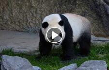 ویدیو اتفاق ترسناک باغ وحش چین 226x145 - ویدیو/ وقوع اتفاقی ترسناک در باغ وحش چین
