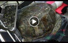 ویدیو استخراج صد سکه بطن سنگ پشت 226x145 - ویدیو/ استخراج صد سکه از بطن سنگ پشت