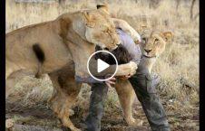 ویدیو حمله شیر دو مرد 226x145 - ویدیو/ حمله شیرها به دو مرد