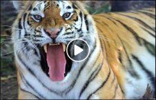 ویدیو حمله وحشتناک پلنگ مردم هند 226x145 - ویدیو/ حمله وحشتناک پلنگ به مردم هند