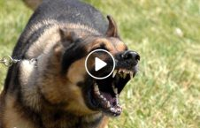 ویدیو حمله وحشیانه سگ ولگرد زن جوان 226x145 - ویدیو/ حمله وحشیانه سگ های ولگرد به یک زن جوان