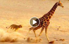 ویدیو شکار شیر ماده شکست 226x145 - ویدیو/ شکاری که شیر ماده را شکست داد