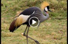 ویدیو صداهایی جالب از پرنده گانی زیبا 226x145 - ویدیو/ صداهایی جالب از پرنده گانی زیبا