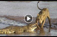 ویدیو فرار شیر مرگ حتمی 226x145 - ویدیو/ فرار شیر از مرگ حتمی