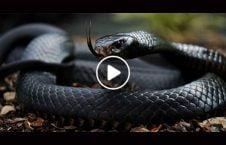 ویدیو مار غول پیکر مجرمان اعتراف 226x145 - ویدیو/ مار غول پیکر از مجرمان اعتراف می گیرد!