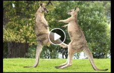 ویدیو نبرد جالب کنگرو آسترالیا 226x145 - ویدیو/ نبرد جالب کنگروها در آسترالیا
