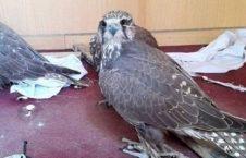 پرنده 226x145 - محیط زیست بامیان در آستانه انقراض