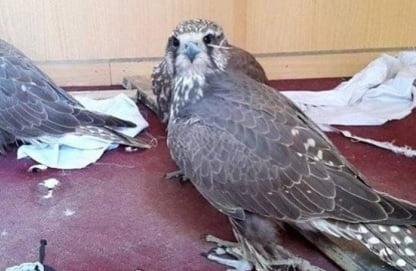 پرنده - محیط زیست بامیان در آستانه انقراض