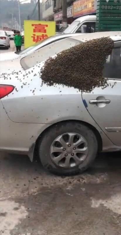 زنبور 1 - تصویر/ هجوم هزاران زنبور به یک موتر در چین