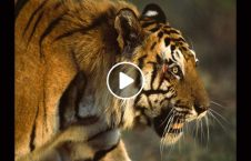 ویدیو ورود ببر وحشی هوتل هند 226x145 - ویدیو/ ورود غیرمنتظره ببر وحشی به داخل هوتل در هند