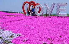 جشن گل چین 7 226x145 - تصاویر/ جشن گلها در چین