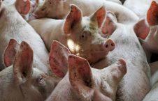 خوک 226x145 - خوراندن اجباری گوشت خوک به پیرمرد مسلمان هندی + عکس