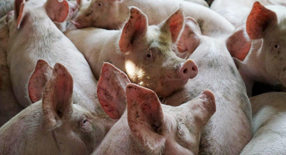 خوک - خوراندن اجباری گوشت خوک به پیرمرد مسلمان هندی + عکس