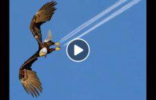 ویدیو برخورد عقاب طیاره آسمان 226x145 - ویدیو/ برخورد شدید عقاب با طیاره در آسمان