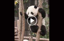 ویدیو جذاب خرس پاندا باغ وحش 226x145 - ویدیو/ حرکات جذاب خرس پاندا در باغ وحش