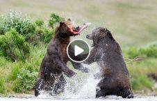 ویدیو خرس شکارچی 226x145 - ویدیو/ خرس های شکارچی به جان هم افتادند