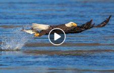 ویدیو عقاب شنا 226x145 - ویدیو/ عقابی که شنا می کند!