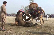 ویدیو مسابقه جذاب شتر پاکستان 226x145 - ویدیو/ مسابقه جذاب شترها در پاکستان