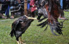 خروس4 226x145 - تصاویر/ مسابقه خروس جنگی در بنگله دیش