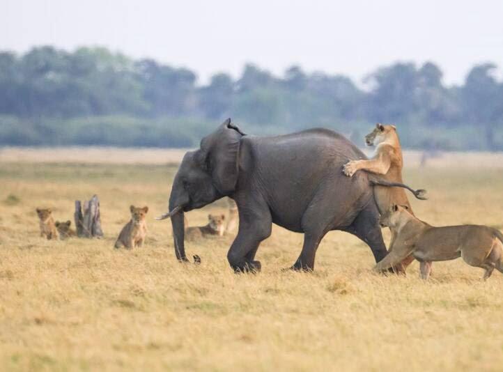 شیرها 1 - تصاویر/ هجوم جالب شیرهای گرسنه به فیل ها