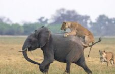 شیرها 2 226x145 - تصاویر/ هجوم جالب شیرهای گرسنه به فیل ها