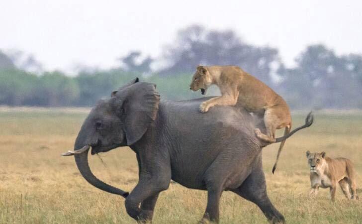 شیرها 2 - تصاویر/ هجوم جالب شیرهای گرسنه به فیل ها