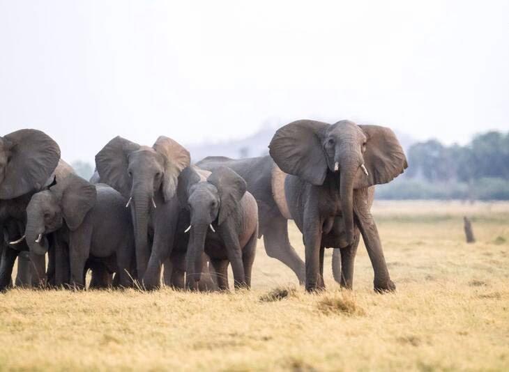 شیرها 3 - تصاویر/ هجوم جالب شیرهای گرسنه به فیل ها