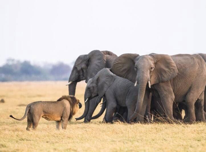 شیرها 4 - تصاویر/ هجوم جالب شیرهای گرسنه به فیل ها