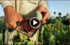 ویدیو انهدام مواد مخدر طالبان فراه 226x145 - ویدیو/ انهدام مراکز پروسس مواد مخدر طالبان در فراه