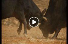 ویدیو خسارت موتر درگیری گاو هندی 226x145 - ویدیو/ خسارت دیدن یک موتر براثر درگیری دو گاو در هند!
