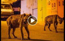 ویدیو عاطفی حیوان وحشی انسان 226x145 - ویدیو/ رابطه عاطفی حیوانات وحشی با انسان ها