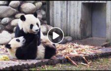 ویدیو نمایش خرس پاندا چین 226x145 - ویدیو/ نمایش گروهی از خرس های پاندا در چین