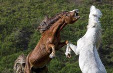 اسب1 226x145 - تصاویر/ درگیری اسب های وحشی