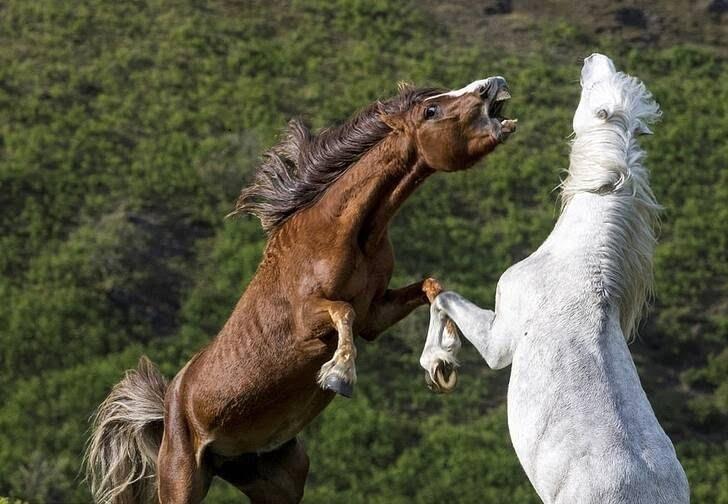 اسب1 - تصاویر/ درگیری اسب های وحشی