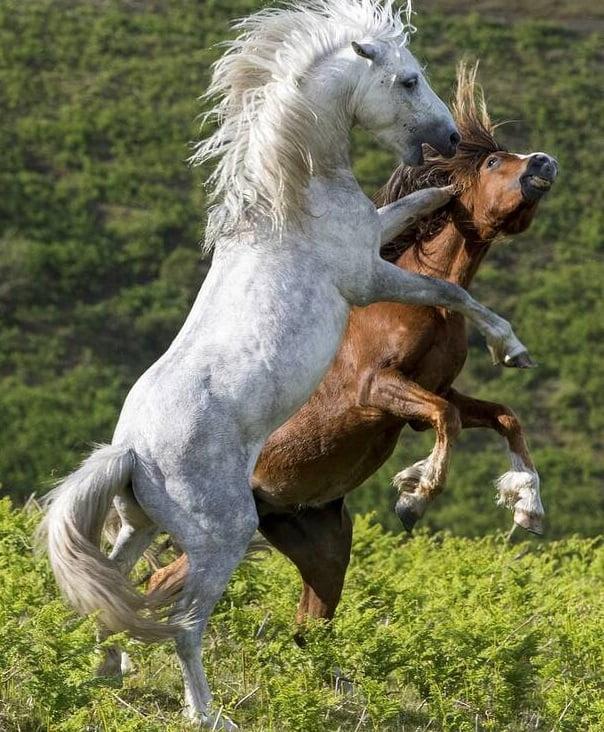 اسب2 - تصاویر/ درگیری اسب های وحشی
