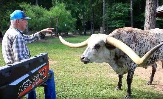 شاخ3 - عجیب ترین گاو دنیا + تصاویر