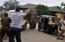 فیل وحشی 226x145 - تصویر/ دویدن فیل وحشی در سرک های هند