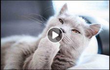 ویدیو نبرد پشک خیابان ترکیه 226x145 - ویدیو/ نبرد شجاعانه پشک در خیابان های ترکیه
