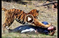 ویدیو حمله ببر موترسایکل هندی 226x145 - ویدیو/ حمله ببر به موترسایکل سوار هندی