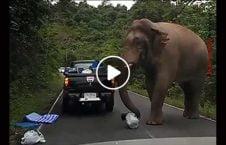ویدیو حمله فیل موتر 226x145 - ویدیو/ حمله فیل گرسنه به موترها
