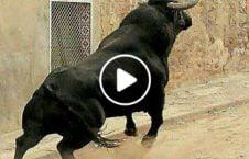 ویدیو حمله گاو جوان هندی پوهنتون 226x145 - ویدیو/ حمله گاو عصبانی به یک جوان هندی در پوهنتون