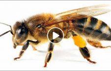 ویدیو لانه عجیب زنبور 226x145 - ویدیو/ لانه سازی عجیب زنبورها